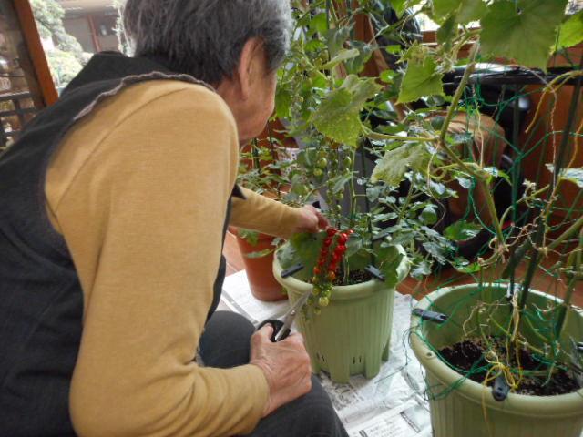家庭菜園 収穫(介護付有料老人ホームゆたか)